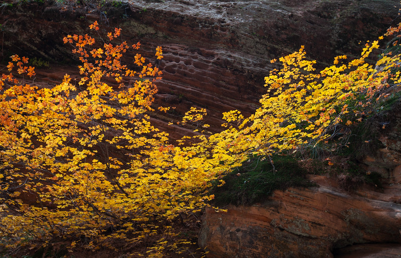 Vine Maple on the way to Hidden Canyon
