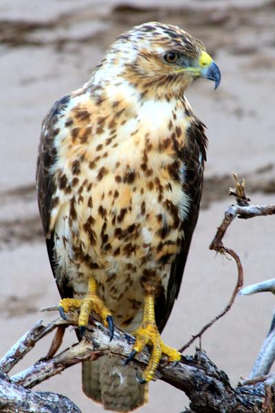 Galapagos Hawk_Pat Hoffman.jpg