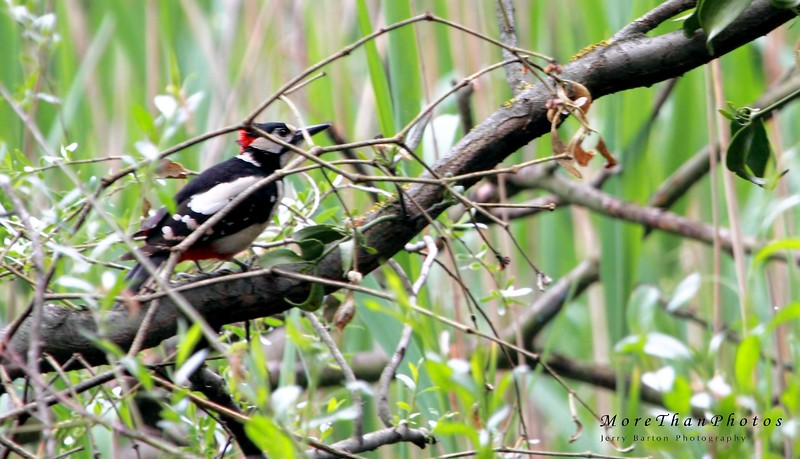 Great spotted woodpecker - inspecting fallen wood for interesting insects.