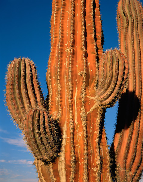 Baja California Sur,, MEX/Cardon cactus (Pachycereus pringlei) reddened on sun-exposed side, near Mulege. 290v                           ada