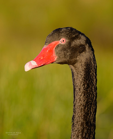 Ducks, Geese and Swans (Anatidae)