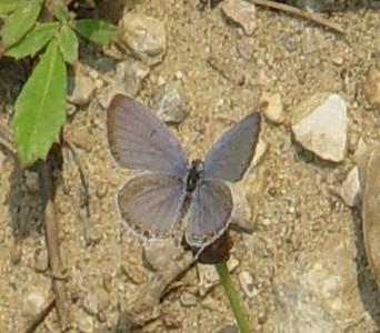 Eastern Tailed-Blue 5 LL.jpg