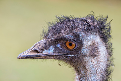 Emu, Cassowary & Megapodes