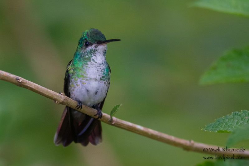 White-necked Jacobin - Female - Amazonia Lodge, Nr. Manu National Park, Peru