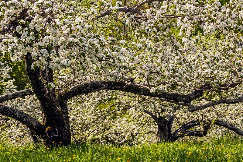 printemps  fleurs pommiers