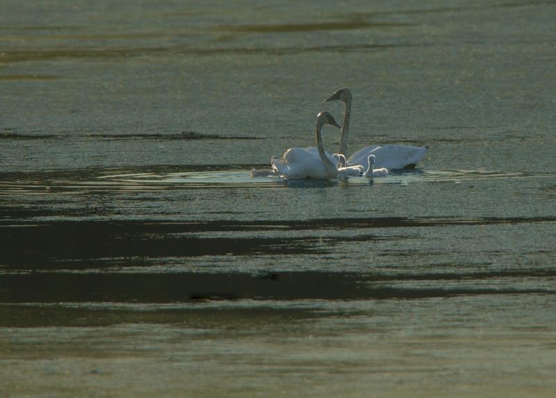 trumpeter swans_4994.jpg