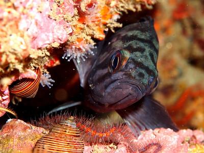 Sebastes mystinus (blue rockfish)