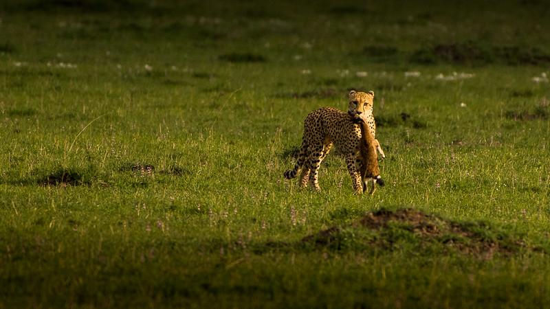 Cheetahs-0200.jpg