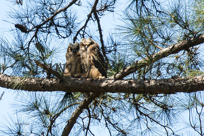 Owl  116