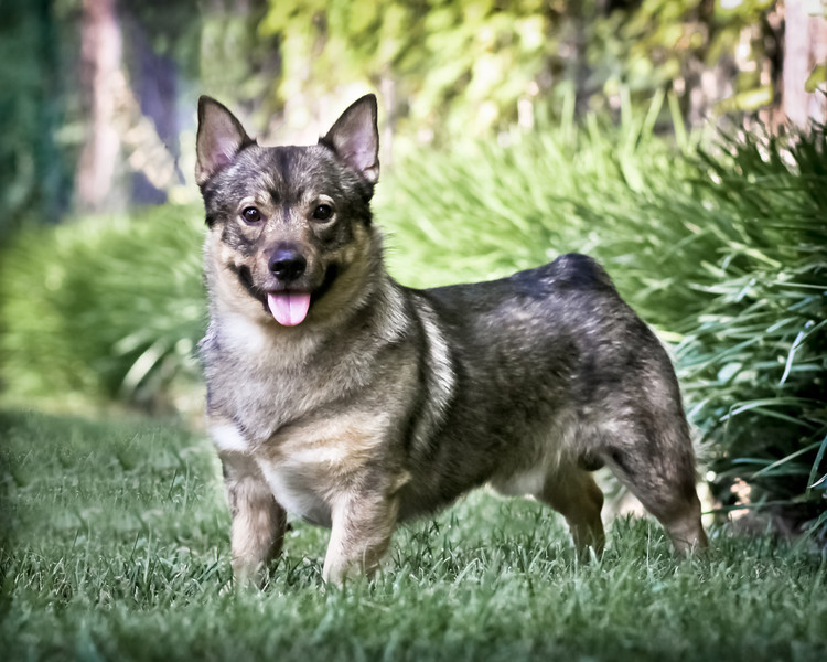 2011 Swedish Vallhund --  Dallas & Houston Shows
