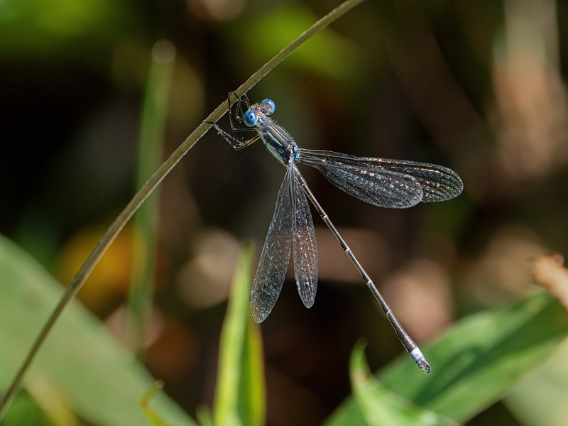 Sweetflag Spreadwing (Lestes forcipatus), male