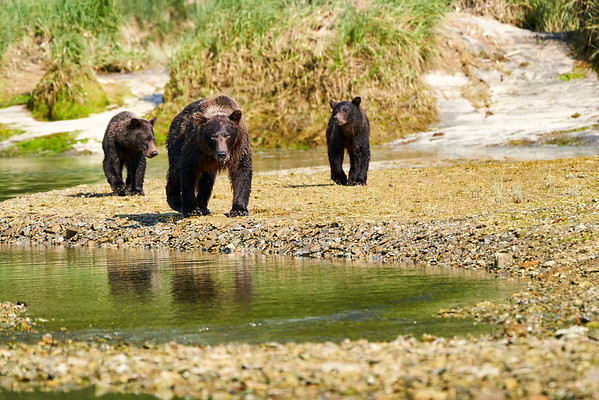 Mother Brown Bear 2nd Year Twin Cubs Katmai