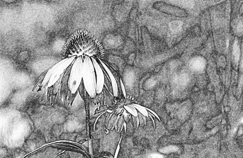 clip-015-flower-wdsm-24jul06-pencil-2759.jpg