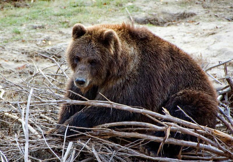 Grizzly With Sticks.jpg