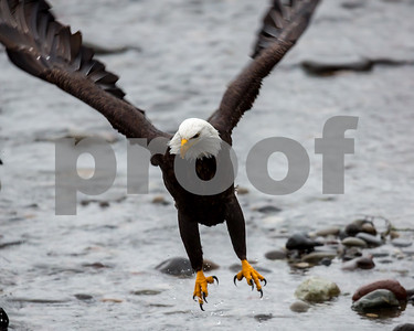 1/8/16 Bald Eagles Of The Pacific Northwest by Don Spivey