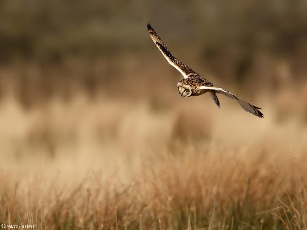 8. Short eared Owl