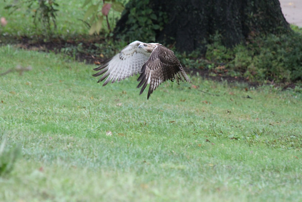 Red Tailed Hawk 2011-09-06