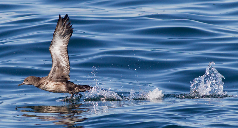 Sooty  Shearwater  Orange County Pelagic  2013 01 12 (1 of 3).CR2 (10 of 11).CR2