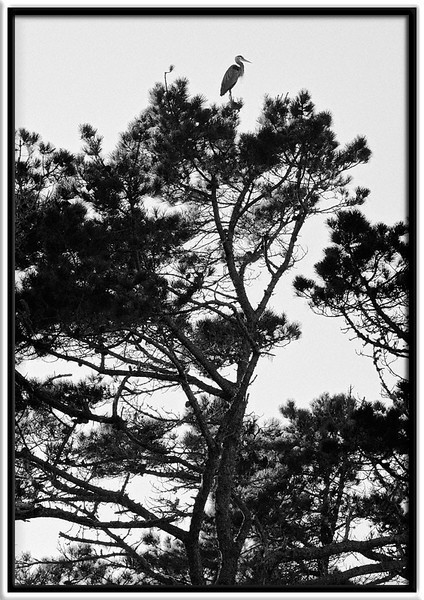 Great Blue Sentinel  A great blue heron keeps watch over its nest atop the Monterey pines along the Pacific Ocean.  Pt. Lobos State Reserve Carmel, California  03-JUL-2010