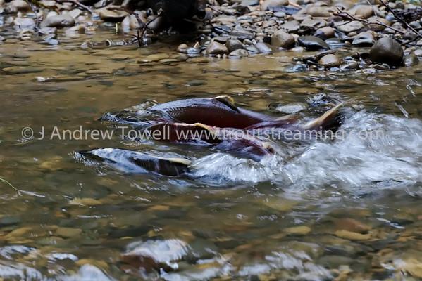 101225 Pacific Salmon Coalition Habitat Restoration Project - Bogachiel Tributary Spawning Coho Salmon Snapshot Gallery