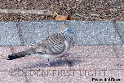 Peaceful Dove, Australia