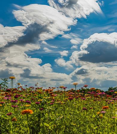 Sunflower Field, Dover, Florida - 2021