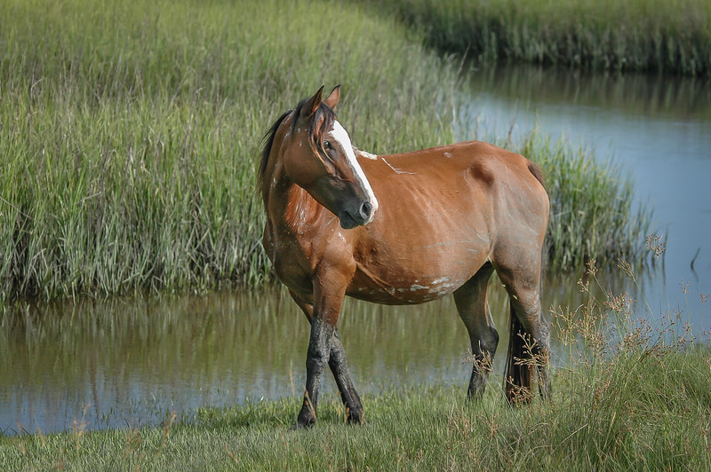 Wild Horse in Salt Marsh CI