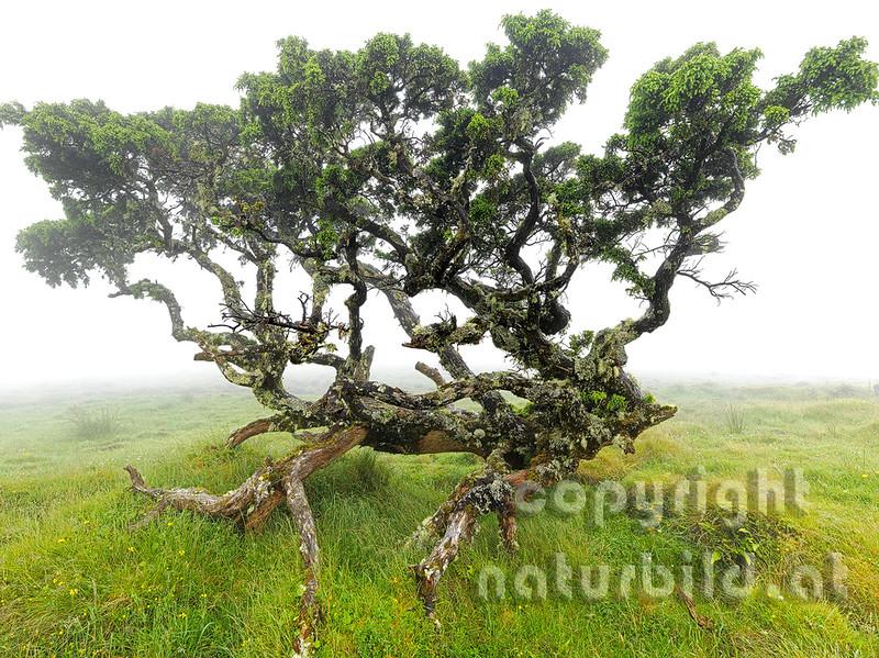 Wacholdererbaum, knorriger alter Stamm, mit Flechten bewachsen, Insel Pico, Azoren, Portugal,