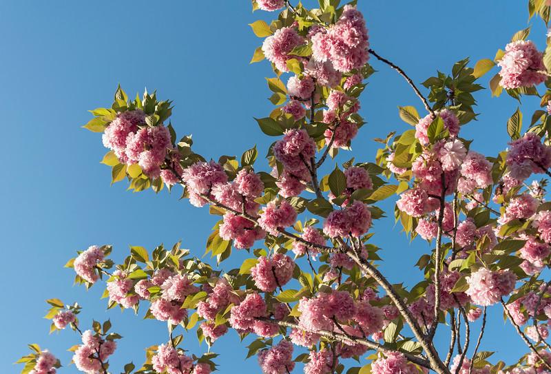Close-up of flowers of sakura cherry tree in bloom, Kyoto, Japan