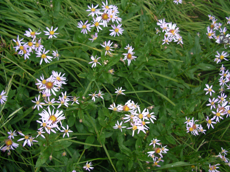 I guess these are Asters?