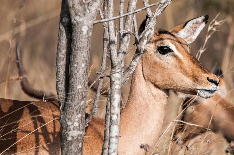 Close-up of antelope in Kruger National Park