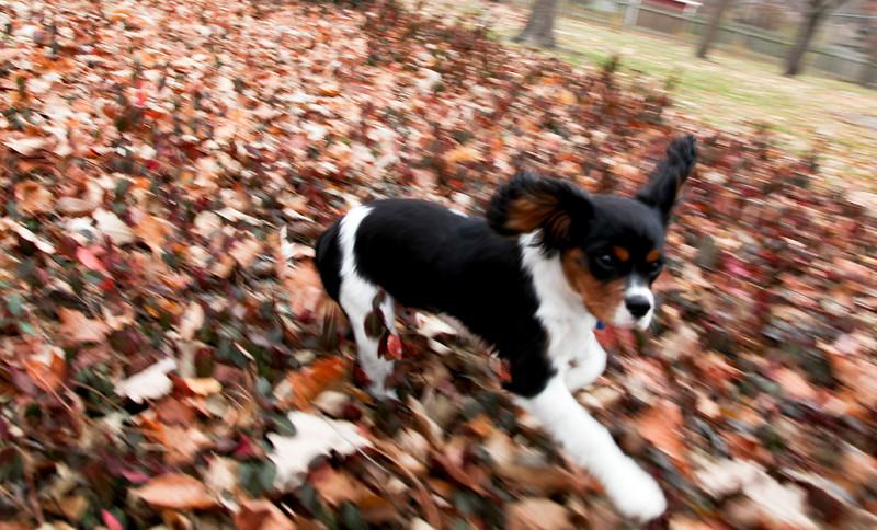 Teddy Roosevelt the dog in Mattoon, Illinois on November 20, 2010.  (Jay Grabiec)