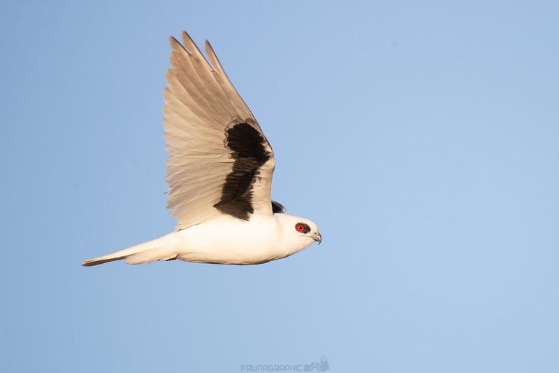 Letter-winged-Kite-Elanus-scriptus-01.jpg