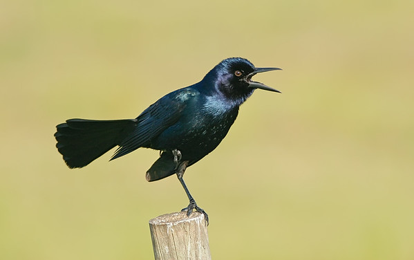 Boattailed Grackle