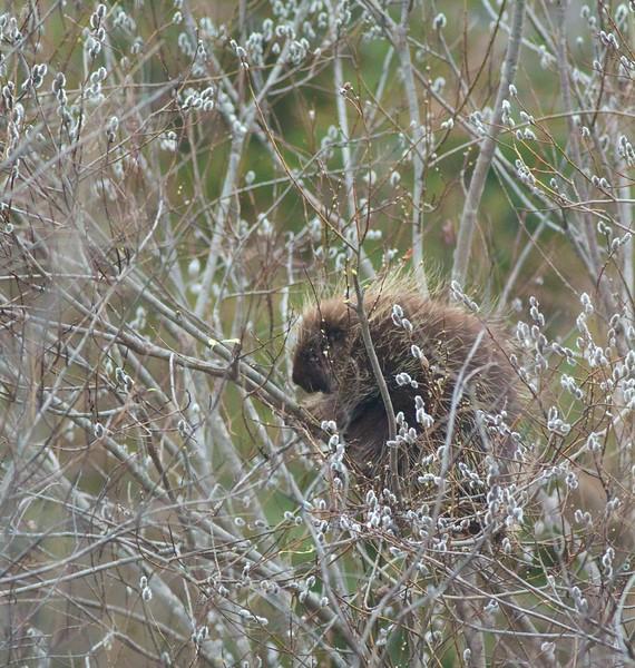 Porcupine in willows catkins flowers Arkola Sax-Zim Bog MN IMG_6377.jpg