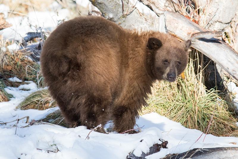 Tahoe Bear Fall 2020-5.jpg