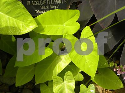 lime-zinger-puts-some-light-green-in-garden