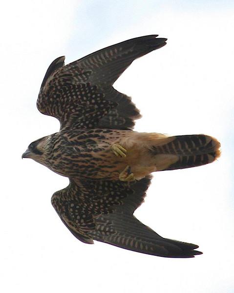 FALCONIDAE Falcons and Caracaras