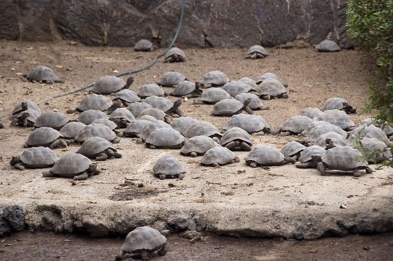 A large herd of young tortoises