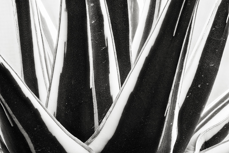agave victoria-reginae 'white rhino'