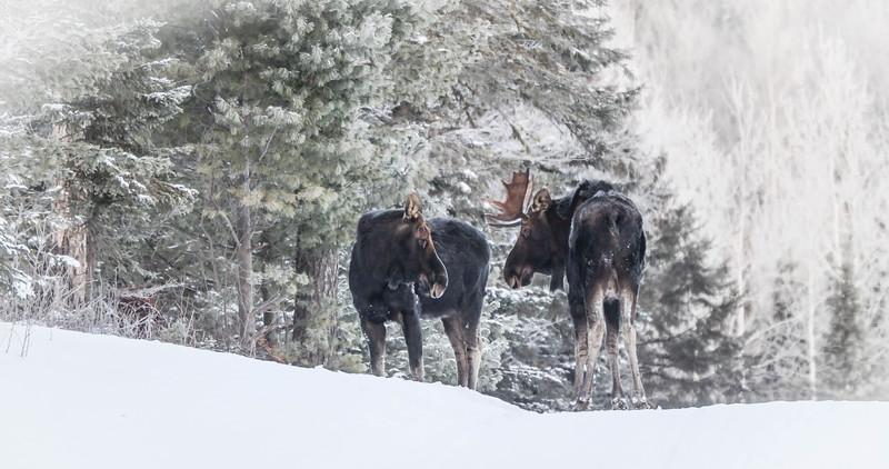 Moose pair bulls Sawbill Trail Cook County MN IMG_7074.jpg