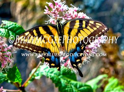Butterflies - 17 Aug 09