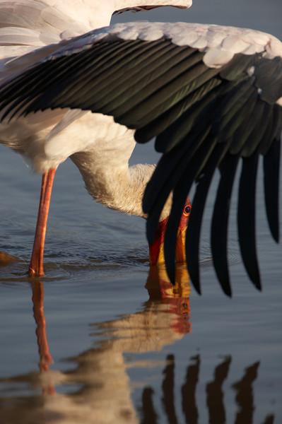 Yelllow billed stork - 1319.jpg