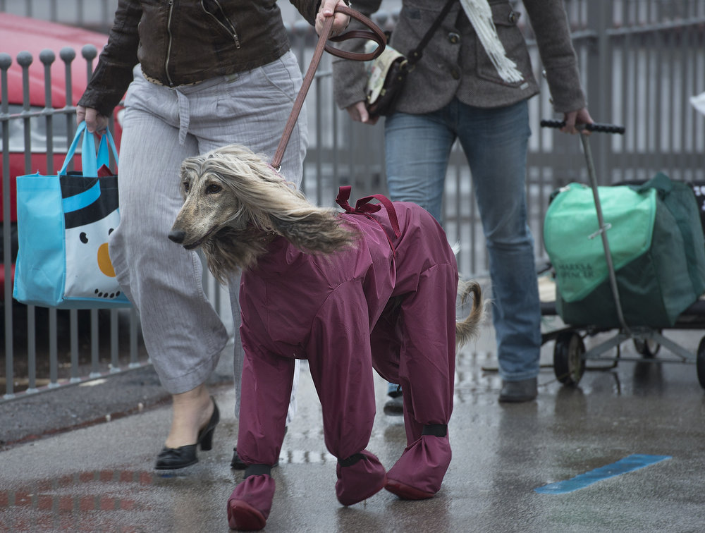 Description of . An owner arrives with her Afghan Hound wearing a waterproof suit on the first day of the Crufts dog show in Birmingham, in central England on March 7, 2013. The annual event sees dog breeders from around the world compete in a number of competitions with one dog going on to win the