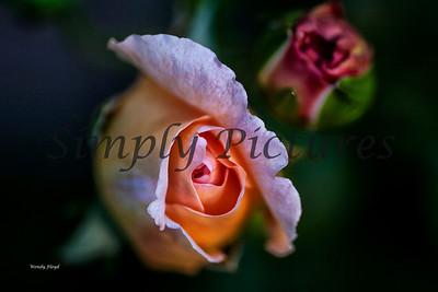 roses  032