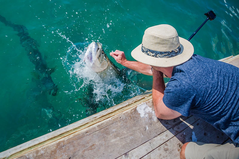 Tarpon feeding at Robbies - things to do in Key Largo