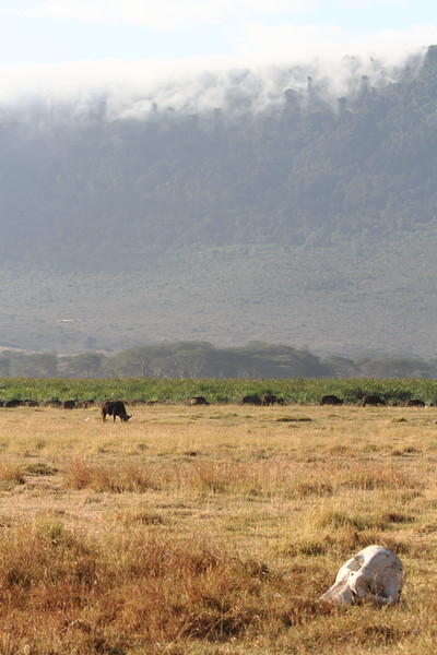 Cape Buffalo in the Crater.JPG