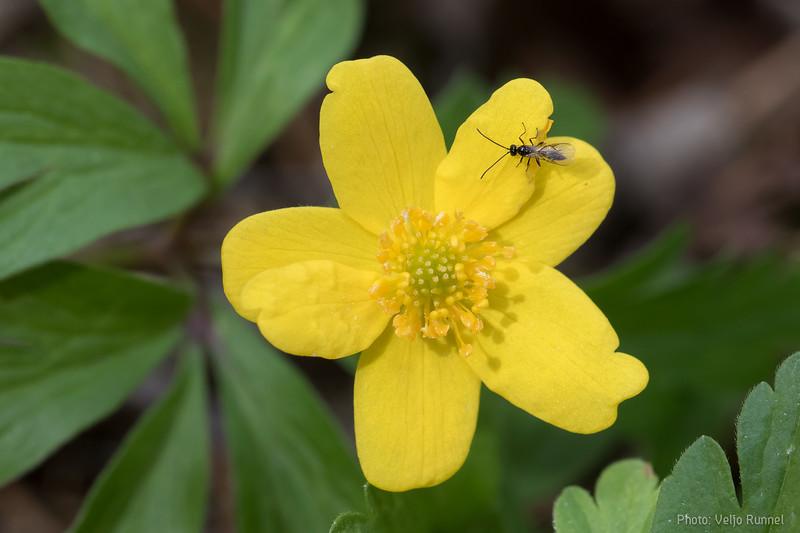 Wood anemone, võsaülane