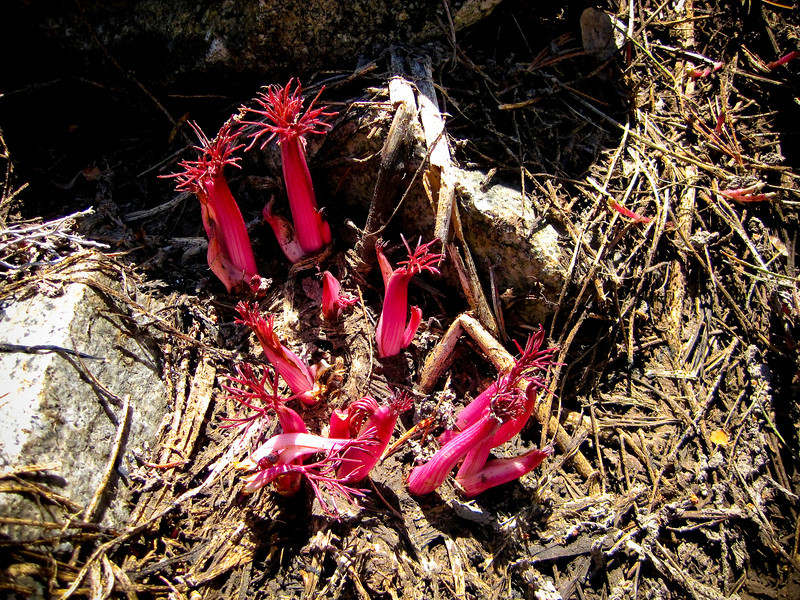 Snow plant. Rush Creek Trail. See map Green line