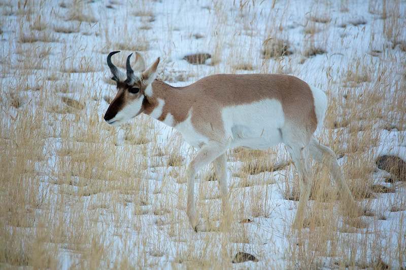 387A9396 Single pronghorn.jpg